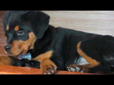 Правильное питание щенка. Ротвейлер