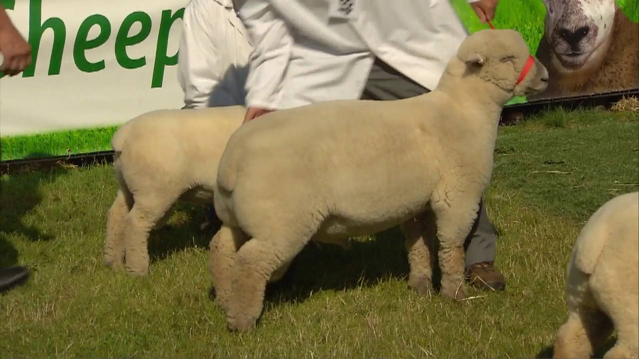 Shearing Southdown Sheep for Duvets by Southdown Duvets