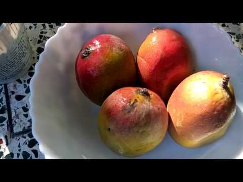 how to grow mango from seed video
