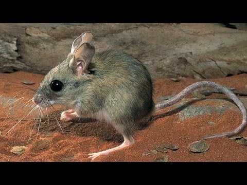 Australian marsupials that look like rats
