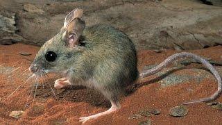Desert Hopping Mouse