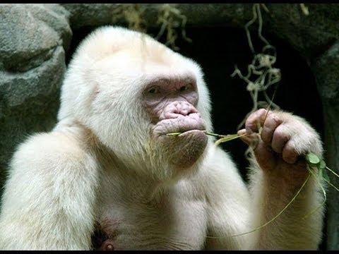 La endogamia provocó el albinismo de Copito de Nieve
