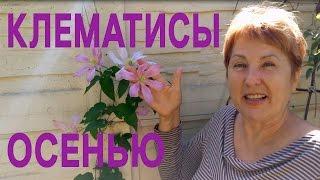 КЛЕМАТИСЫ ОСЕНЬЮ - цветение клематисов - обзор