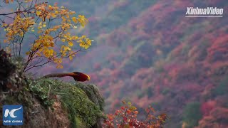 Golden pheasants in China's Qinling Mountains