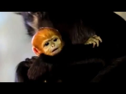 Mama Monkey Proudly Shows Off Newborn With Bright Orange Hair