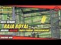 Borobudur Cup Aksi Kenari Raja Royal Ngerii Ngedur Tanpa Pindah Tangkringan  Mp3 - Mp4 Download