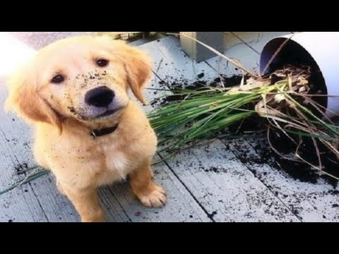 Funniest & Cutest Golden Retriever Puppies #26 - Funny Puppy Videos 2019