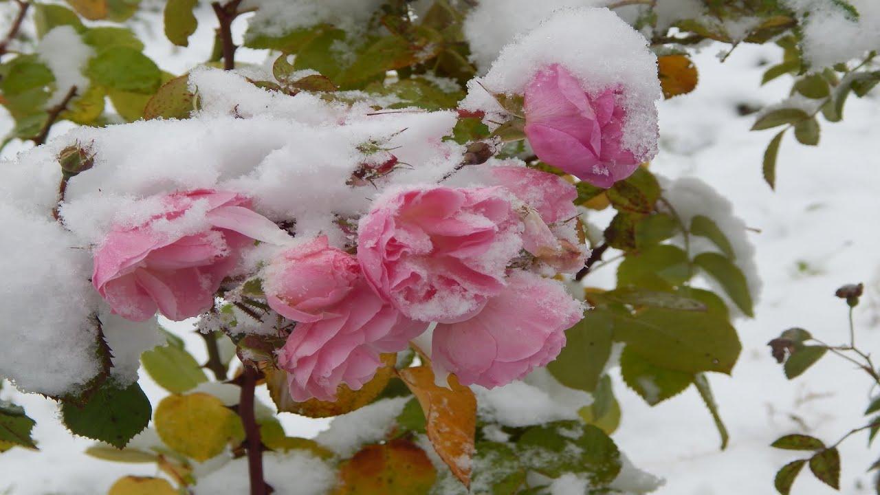 Розы в снегу.