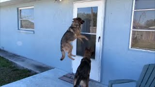 German Shepherd High Jump For Food