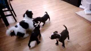 Full Breed Staffordshire Bull Terriers