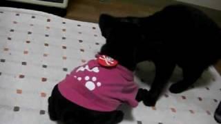 お友だちのお家で生まれたフレブルベビー☆我が家のネコ(これでもまだ子...