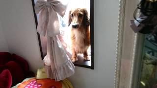 猫のように窓際を好むダックスフンドの姿です。 □動物食事動画サイト ht...