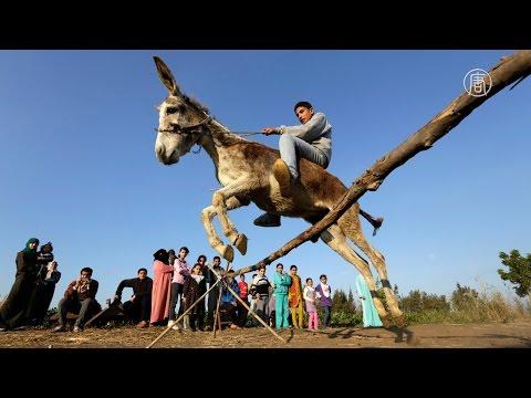В Египте живёт осёл, который умеет прыгать через барьеры (новости)