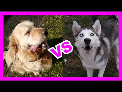 DOG IQ Test - Siberian Husky vs Golden Retriever
