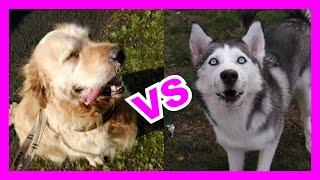 DOG IQ Test  Siberian Husky vs Golden Retriever