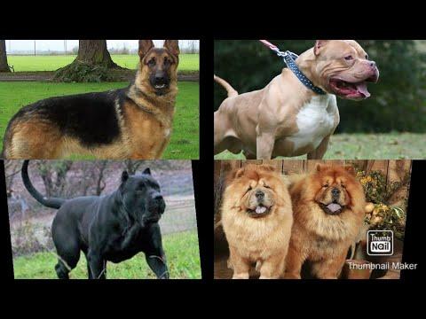 Աշխարհի 10 ամենավտանգավոր շների ցեղատեսակները.
