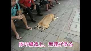 常夏の国のタイでは犬も暑いらしく骨格上で無理があるだろうという姿勢...