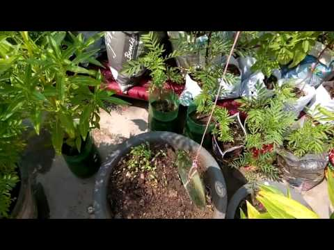 141 How to grow Aloe Vera from single leaf (Hindi /Urdu) 17/9 /16