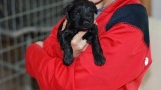 Akc Miniature Schnauzer Puppies Lucy & Otto In Oregon