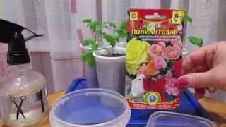 Роза полиантовая Готовлю к посеву
