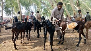 Zafar Biyopari Ka New Maal - Goats For Sale Sahiwal Bakra Mandi Latest Video 201