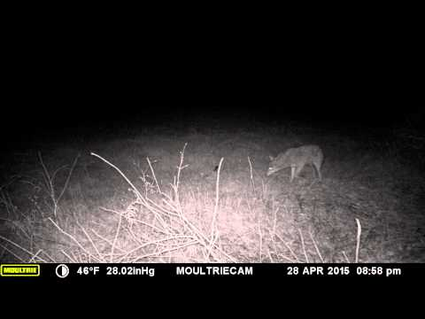 coyote at my house