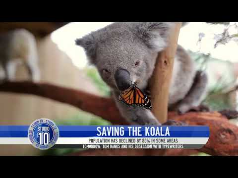 Why The Koala Population Is Declining | Studio 10