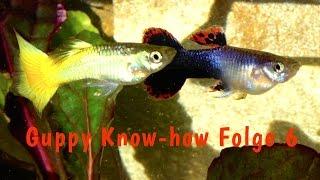 Guppy Know-how Folge 6: Die Fütterung von Guppys, Dokumentation Fische füttern, Aquaristik Film