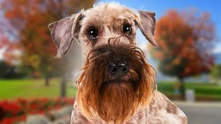 Cesky Terrier  Top 5 Pros and Cons (Ultimate Cesky Terrier Facts)