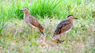 Aves de Venezuela – Aves de Barinas - Alcaraván Llanero - Burhinus bistriatus.