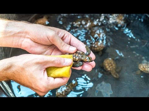CLEANING BABY SEA TURTLES!