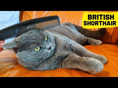 Quarantine British Shorthair Cat Brush