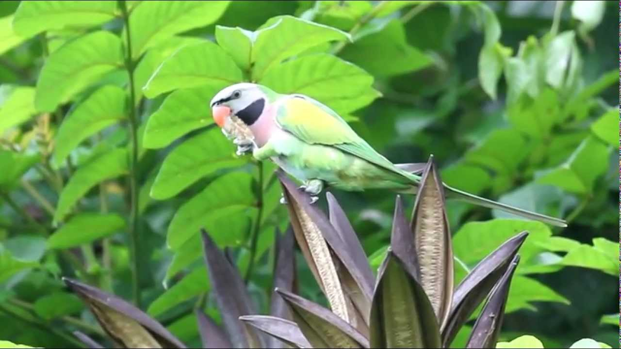 The Moustache Parakeet: A Playful and Clever Pet Parrot | PetHelpful