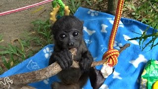 Baby Howler Monkey Is About To Need A Bigger Jungle Gym