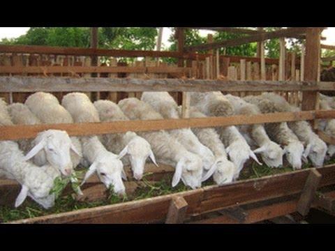 Ternak Kambing 082138373443 , Budidaya Kambing, Penggemukan kambing