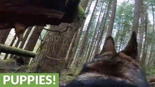 German Shepherd scales mossy logs while wearing GoPro