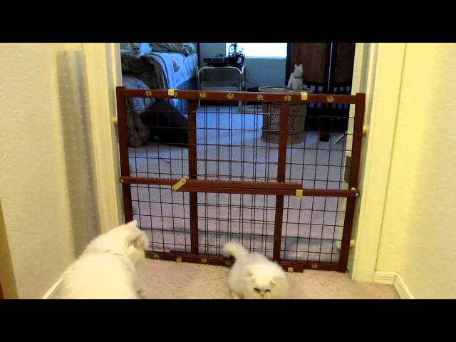 #2 Kitten Escape By 8 Week Old Dollface Persian, Joey…. Gail's Dollfacepurz