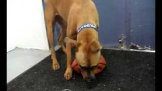 Weimaraner Dog From Dogtown Llc In Lexington, Ky,fun At Dtow