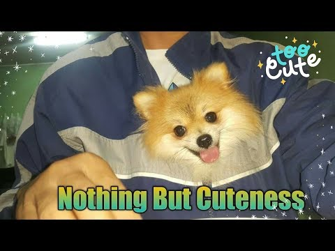 Tiny and Sweet Nothing But Cuteness Cutest Pomeranian