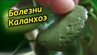 видео Уход за толстянкой в домашних условиях, чтобы листья не опадали, цветение, посадка и пересадка, лечение болезни