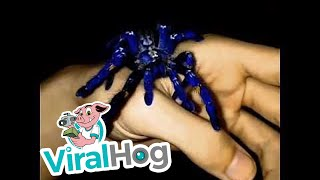 Funny Video: Have You Ever Seen a Blue Tarantula?