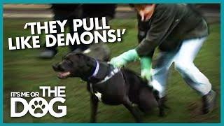 Owners Fear Their Huge Dogs Toadie & Smartie
