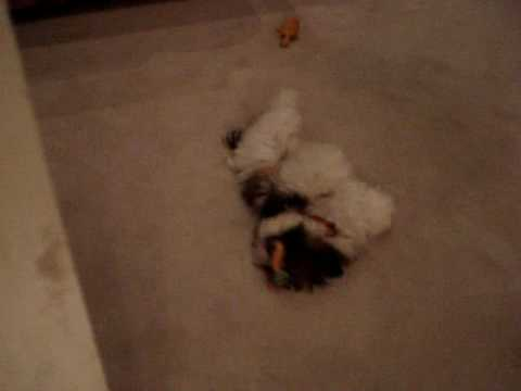 shih-tzu-puppy-lacey-playing-with-toy,-shaking-head,-crazy