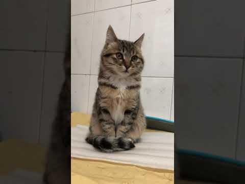Li Hua Cat 狸花猫 tabby cat