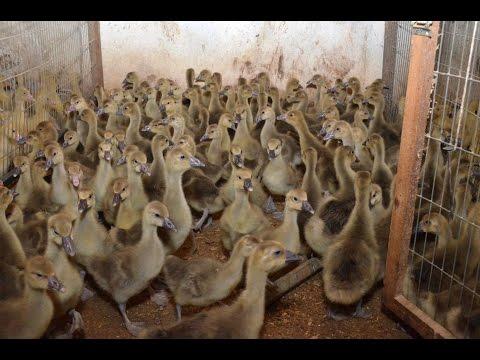 Молодняк птицы 2015 (гуси, утки, бройлер, индейки, цесарки) ФХ Воложанина А.Е.