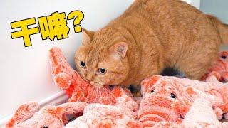 【喵来啦】给猫准备了100只大龙虾,现场过于兴奋,不可描述