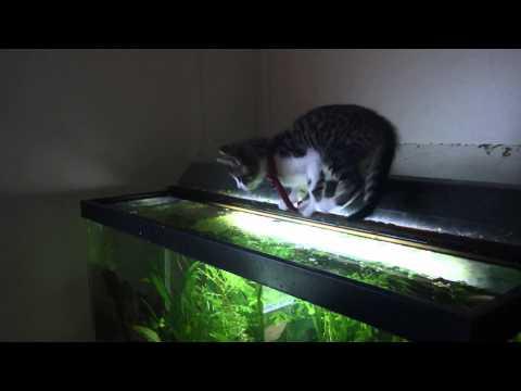 Kitten Falls In Fish Tank