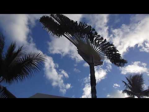 Amazing Traveler Palms on Maui