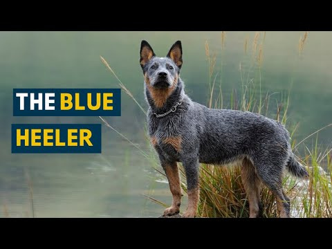 Blue Heeler: Ten Things You Need To Know About This Dog Today!