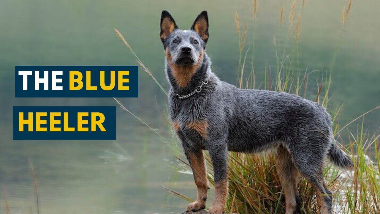 Blue Heeler Ten Things You Need To